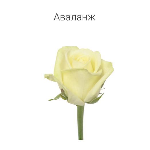 Роза « Аваланж» 40 см