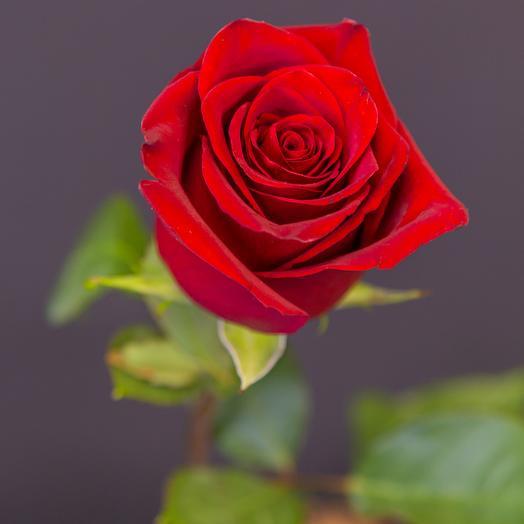 Роза эквадорская элитная