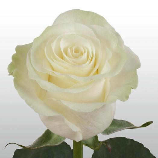 Белая роза Эквадор