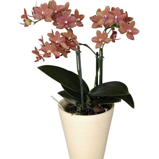 Горшечная орхидея фалинопсис миниатюрная