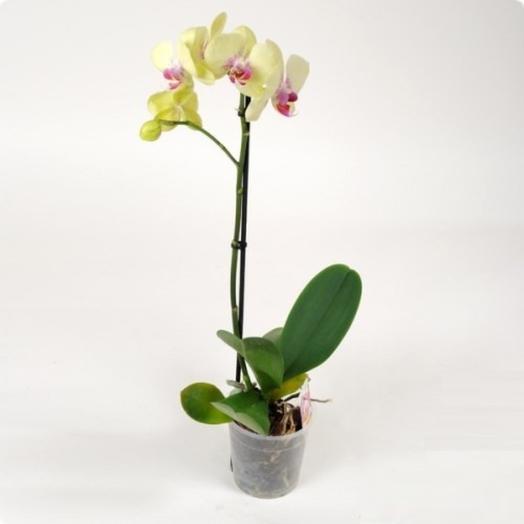 Орхидея фаленопсис желтый: букеты цветов на заказ Flowwow