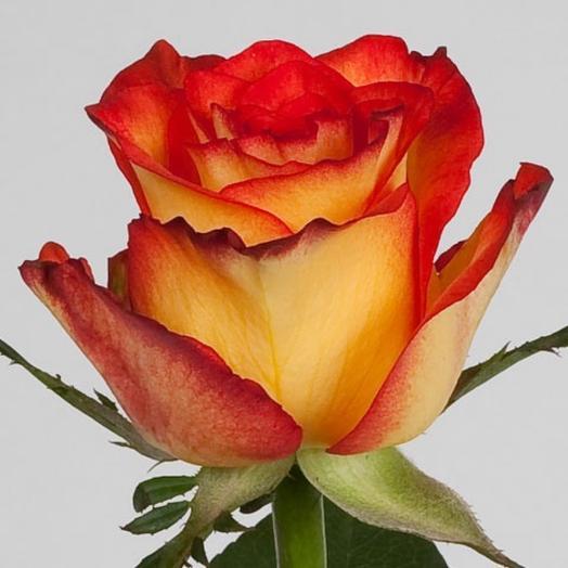 Роза Эквадор Хай Меджик