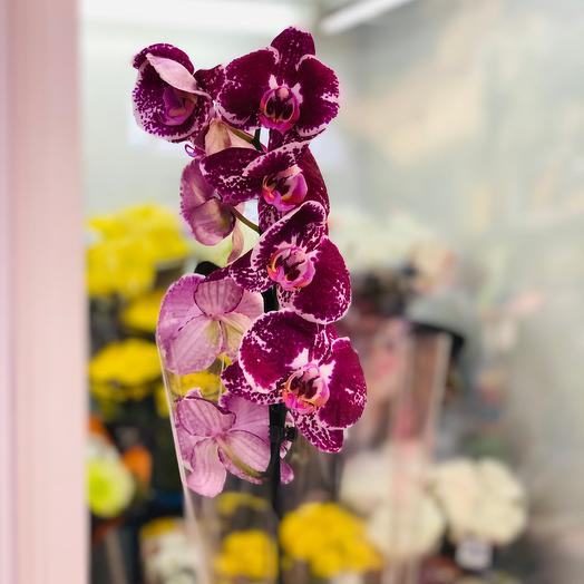 Комнатное растение Орхидея (божья коровка )