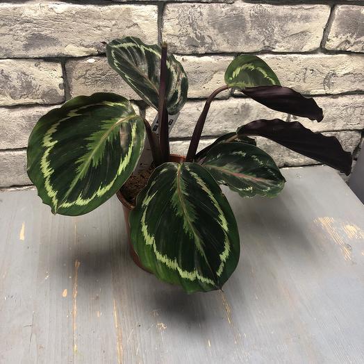 Комнатное растение  Калатея