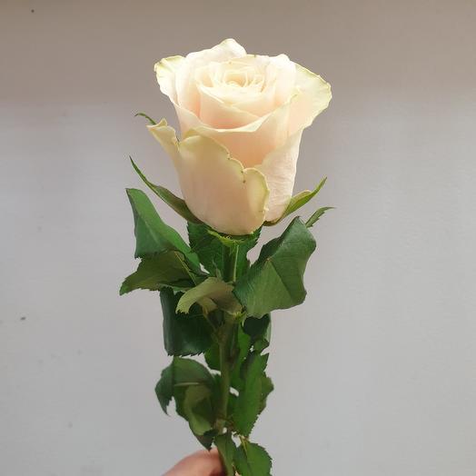 Роза кремовая Кенийская 50 см