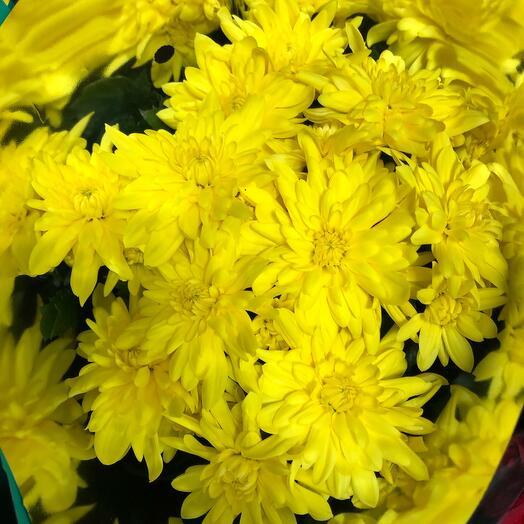 Комнатное растение Хризантема