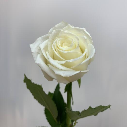 Роза айсбрекер