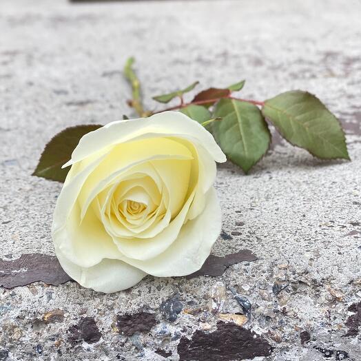 Роза Кения 30-35см
