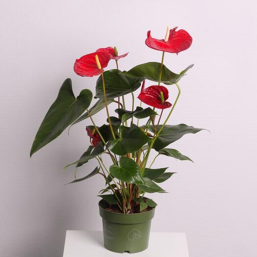 Комнатное растение «Антуриум» красный
