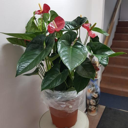 Антуриум XXL: букеты цветов на заказ Flowwow