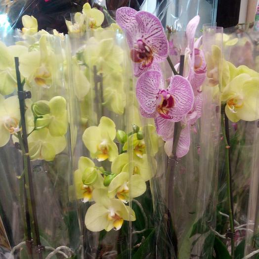 Фаленопсис: букеты цветов на заказ Flowwow