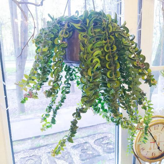 Эсхинантус твистер: букеты цветов на заказ Flowwow