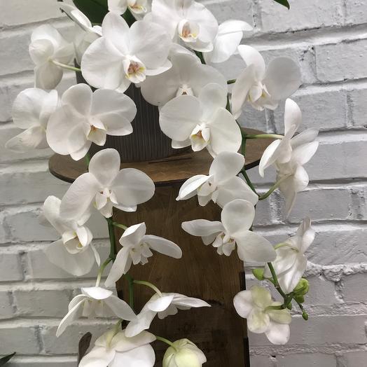 Ампельная орхидея фаленопсис в керамическом горшке: букеты цветов на заказ Flowwow