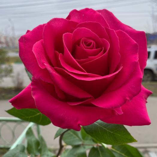 Роза розовая Пинк Флойд 70 см