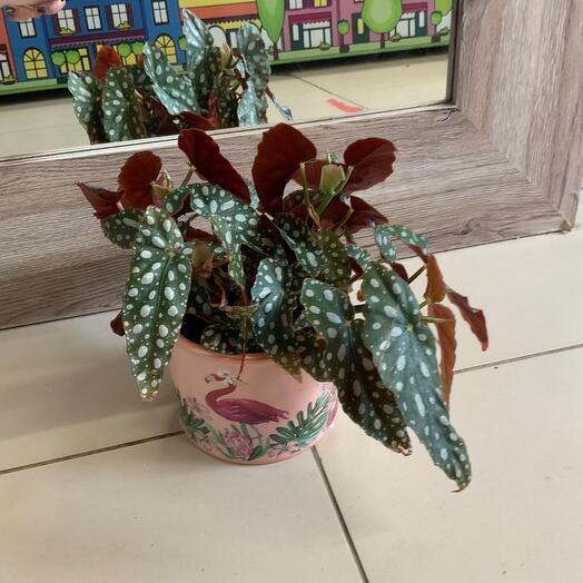 Комнатное растение Бегония в кашпо