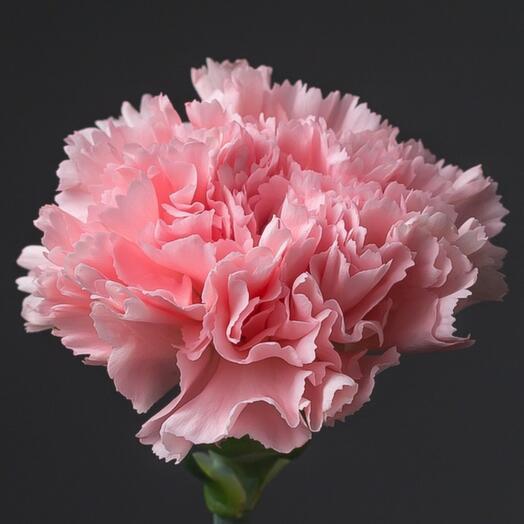 Гвоздика розовая одноголовая