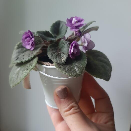 Фиалка мини Violet