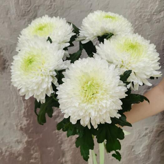 Пушистая хризантема