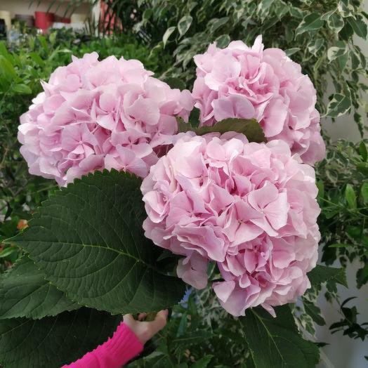 """Букет воздушных гортензий """"Розовое облако"""": букеты цветов на заказ Flowwow"""