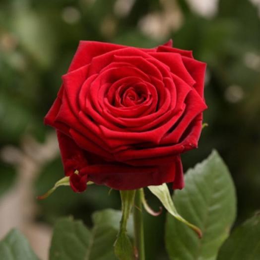 Красная Роза сорт Ред Наоми 70 см