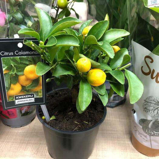 Комнатное растение Мандарины