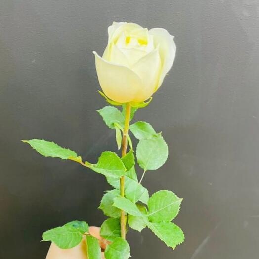 Роза Polo Эквадор 70 см