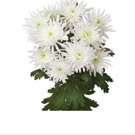 Хризантема тоспин