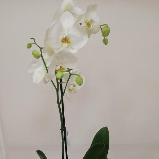 Flowers Lovers - Орхидея белая Фаленопсис