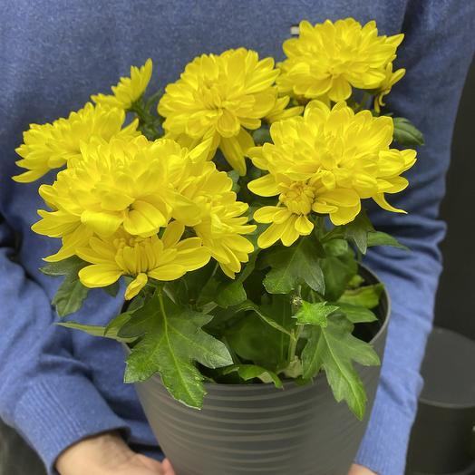 Хризантема: букеты цветов на заказ Flowwow