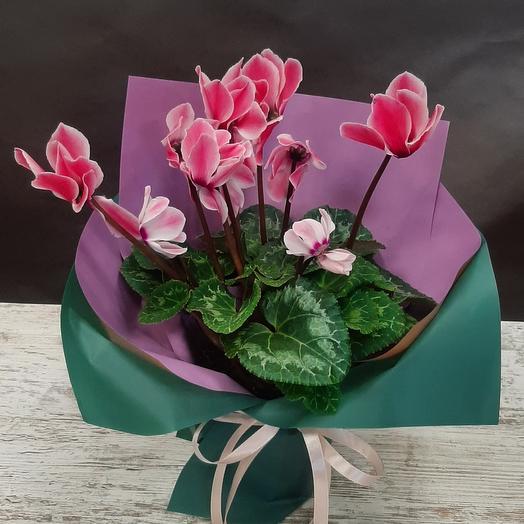 Комнатное растение Циуломен розовый