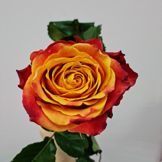 Роза атомик эквадор