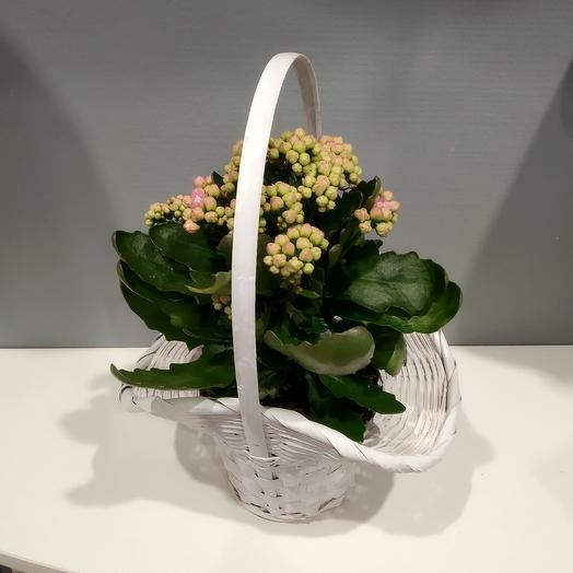 Каланхоэ в корзинке: букеты цветов на заказ Flowwow