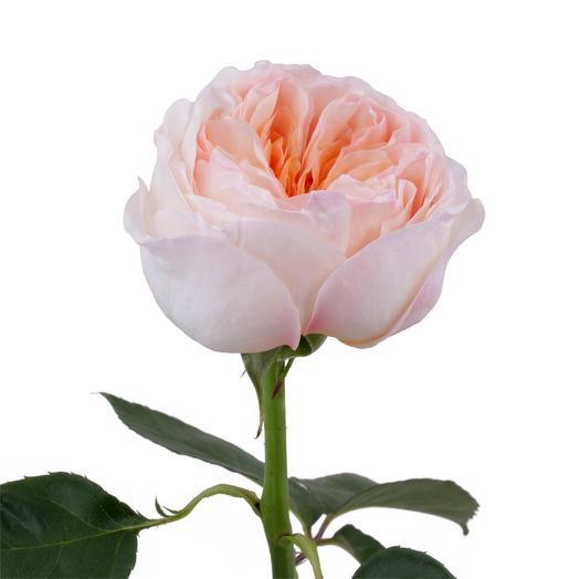 Роза сорта Кейра