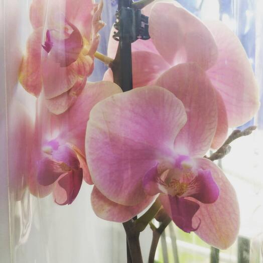 Карамельный фаленопсис, 1 цветонос