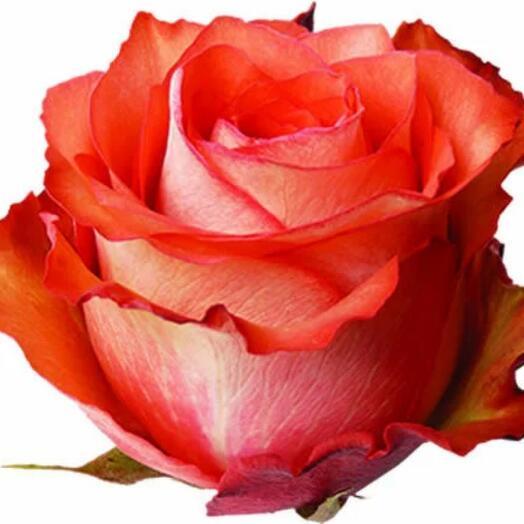 Роза Эквадор оранжевая 60 см