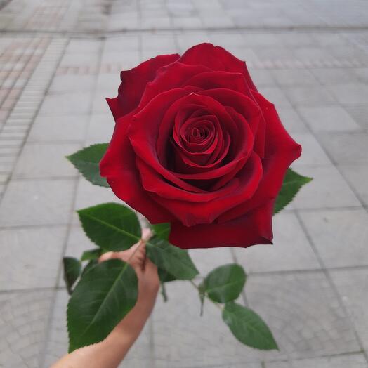 Роза красная Explorer 60 см