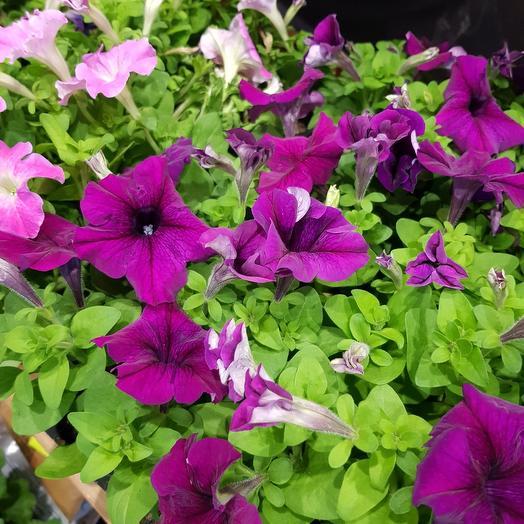 Петунья: букеты цветов на заказ Flowwow