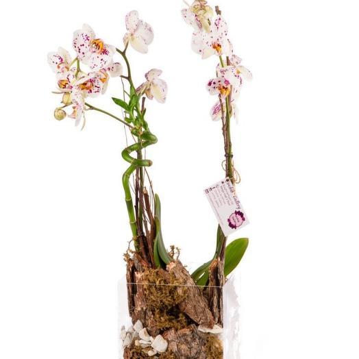 Indoor plant Phalaenopsis