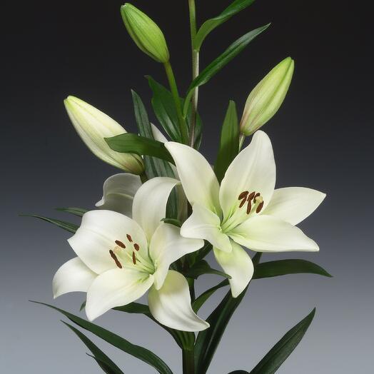 ✅ Лилия белая ветка  (кол-во любое)