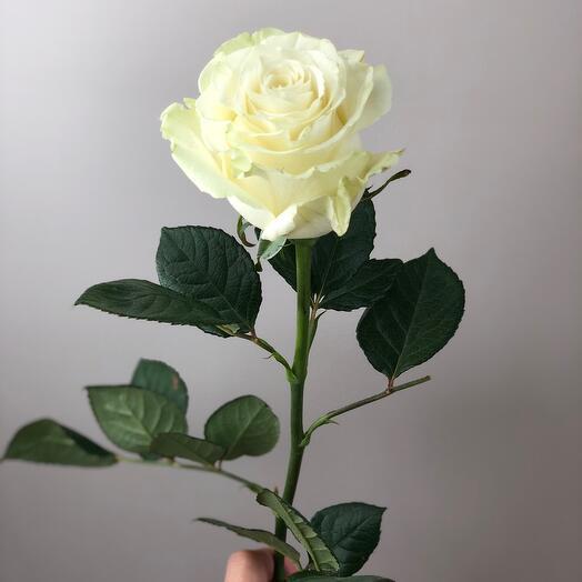 Роза Эквадор 60 см