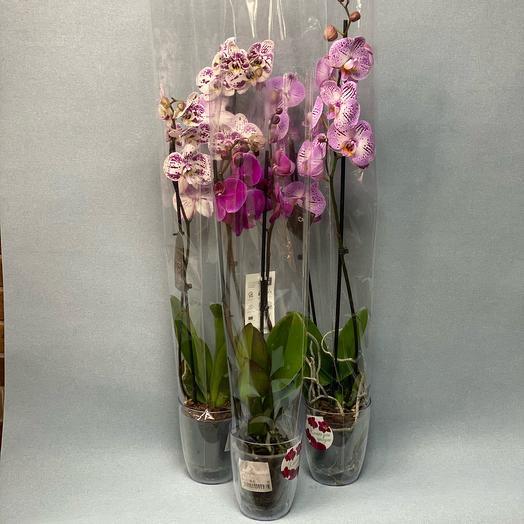 Orchid Phalaenopsis Mix of 80 cm