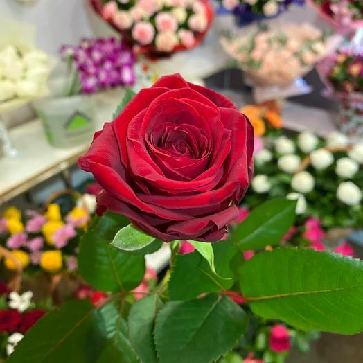 Роза реднаоми. 70см