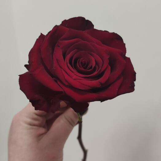 Эквадорская роза Explorer