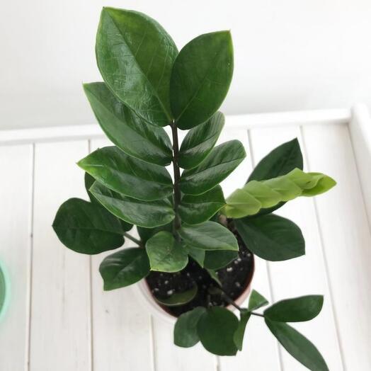 Комнатное растение Замиакулькас