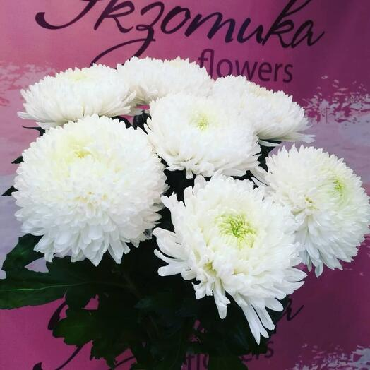Bouquet of single-headed chrysanthemums 7pcs under the ribbon