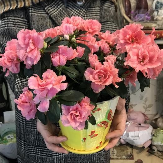 Розовая азалия: букеты цветов на заказ Flowwow