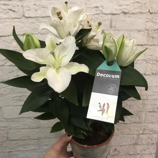 Шикарная лилия в горшке: букеты цветов на заказ Flowwow