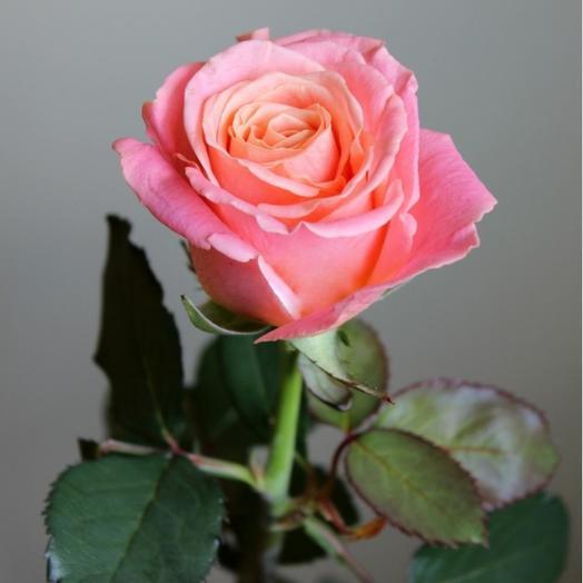 Роза Мисс Пигги 60 см