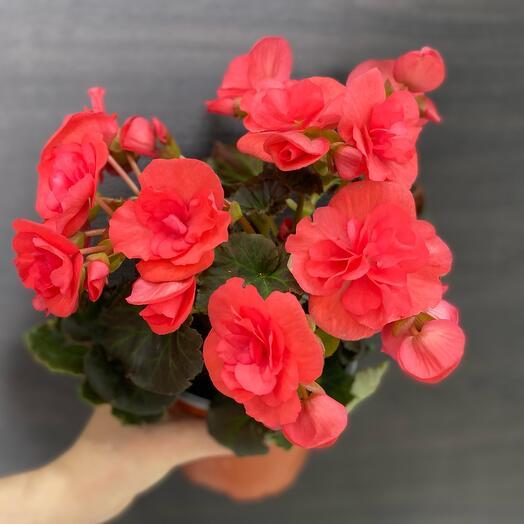 Комнатное растение красная бегония