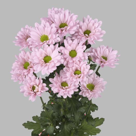 Хризантема кустовая розовая-1 веточка (количество любое)